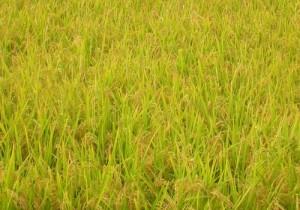 新潟平野の稲穂